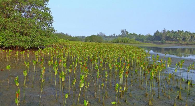 O bem que o meio ambiente faz: a flora dos manguezais
