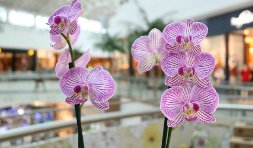 Saiba como cuidar e deixar suas orquídeas sempre floridas
