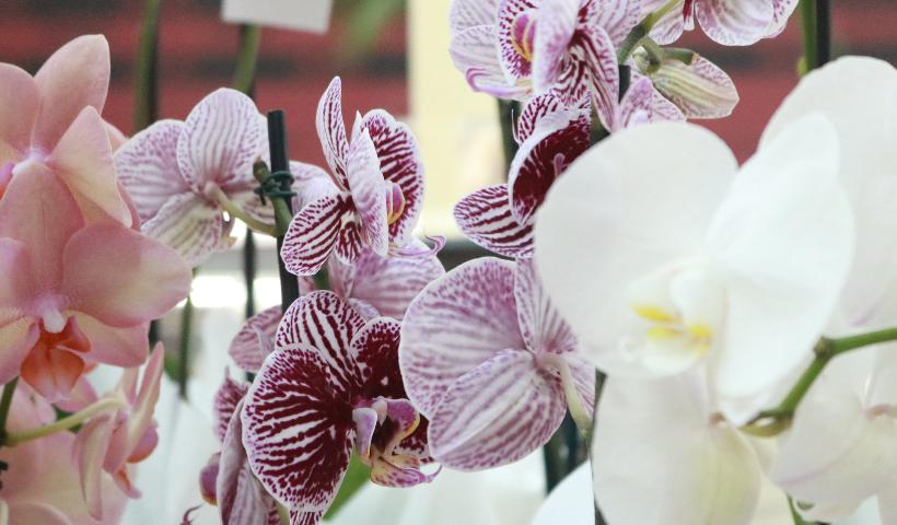 Orquídeas para presentear com afeto no Dia da Mulher