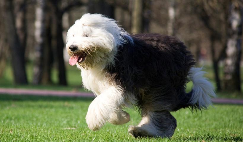 Veja quais são as 10 raças dos cachorros mais peludos